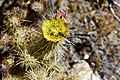 Wolf's Cholla blossom, with beetle - Anza Borrego.jpg