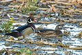 Wood Duck (Aix sponsa) (25795729384).jpg