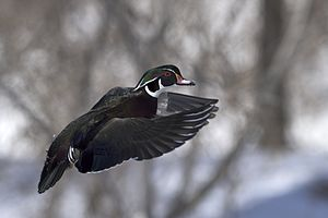 Wood duck - Wood duck in flight