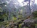 Woodland, Glen Strathfarrar. - geograph.org.uk - 1531692.jpg