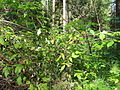 Woodlot NW of Kornilovo - raspberries - DSCF5593.JPG