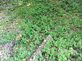 Woodlot NW of Kornilovo - whortleberries - DSCF5602.JPG