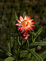Xerochrysum bracteatum cultivar.jpg