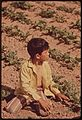 YOUNG CHILD OF MIGRANT FAMILY WORKS IN SUGARBEET FIELD - NARA - 543871.jpg