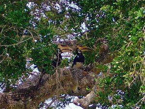 Malabar pied hornbill - Two hornbills in Yala National Park in Sri Lanka.