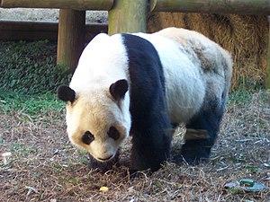 Yang Yang (Atlanta giant panda) - Zoo Atlanta's Yang Yang in December 2006