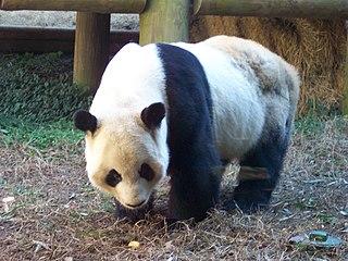 Yang Yang (Atlanta giant panda) male giant panda