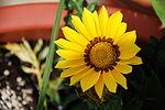 Yello Flower.JPG