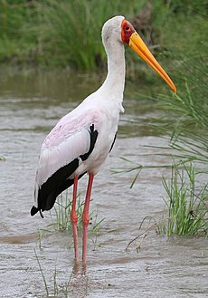 Yellow-billed Stork, Mycteria ibis at Kruger Park (13933893546).jpg