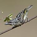 Yellow-fronted tinkerbird, Pogoniulus chrysoconus, at Rust de Winter Dam, South Africa. (45364883664).jpg