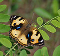 Yellow Pansy (Junonia hierta)- Female in Talakona forest, AP W IMG 8579.jpg