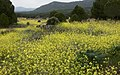 Yellow field of flowers in Spain (42387259602).jpg
