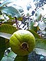 Yellow guava in Shahkot, Pakistan.jpg