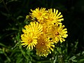 Yellow hawkweed flowers in Gåseberg.jpg