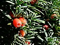 Yew berries, the Lawn, Swindon - geograph.org.uk - 592422.jpg