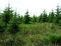 Young Trees in Kielder Forest - geograph.org.uk - 210875.jpg