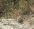 Young rabbit in brush (19655769188).jpg