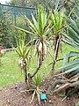 Yucca elephantipes - Jardin d'oiseaux tropicaux - DSC04974.JPG