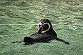 Zürich Zoo Humboldt Penguin (16416633654).jpg
