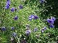 Zahradní chrpa modrá v květu.jpg