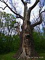 Zalizniak oak tree 05.jpg