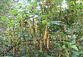 Zarzaparrilla o mulul (Ribes magellanicum.jpg