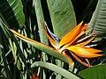 Zingiberales - Strelitzia reginae 3.jpg