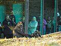 Zoo Atlanta Gorilla 8.jpg