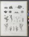Zoologie. Polypes. Polypes à tuyaux (NYPL b14212718-1268622).tiff
