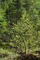 Zwergbirke toteisboden untertal 57291 2009-05-14.JPG