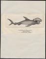 Zygaena blochii - 1700-1880 - Print - Iconographia Zoologica - Special Collections University of Amsterdam - UBA01 IZ14100053.tif