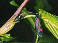 Zygaenidae - Zygaena (Zygaena) lonicerae.jpg