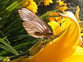 """Бабочка на желтой лилии"".jpg"