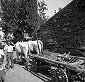 """""""Kozec"""" na vozu (kozec je priprava za vožnjo sena in žita, Pomjan) 1950 (3).jpg"""