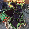 'Giant Exhibition Magma' coleus IMG 0896.jpg