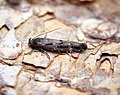 (0891) Mompha sturnipennella (36837721696).jpg