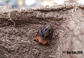 (0977) Large Fruit-tree Tortrix (Archips podana) (3185105590).jpg