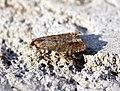 (1145) Epinotia nanana - Flickr - Bennyboymothman (1).jpg