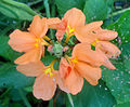 (Crossandra infundibuliformis) fire cracker flower at Bhadrachalam 01.JPG