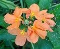 (Crossandra infundibuliformis) fire cracker flower at Bhadrachalam 01.JPG