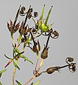 (MHNT) Geranium dissectum - Mature fruits.jpg