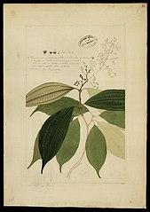 (Melastomacea)