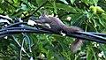 Πήλιο-Σκίουρος Τσαγκαράδα.jpg