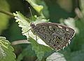 Бархатница - Kirinia roxelana - Lattice Brown (19409161443).jpg