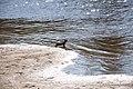 Горностай на пляже р. Ева -Яха, окресности г. Новый Уренгой 3.jpg