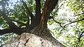 Дібрівський лісовий заказник. Дуб 01.jpg