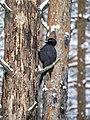 Желна или черный дятел. Dryocopus martius. Дятел сидит на погибшем дереве.jpg