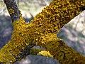 Золотянка (Xanthoria parietina) на гілці осики в заказнику Полігон.jpg