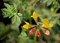 Лядвенец рогатый Lotus corniculatus Common bird's-foot trefoil Обикновеният звездан Gewöhnlicher Hornklee (31076786533).jpg