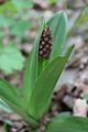 Орхидея и панаска детелина 29.jpg